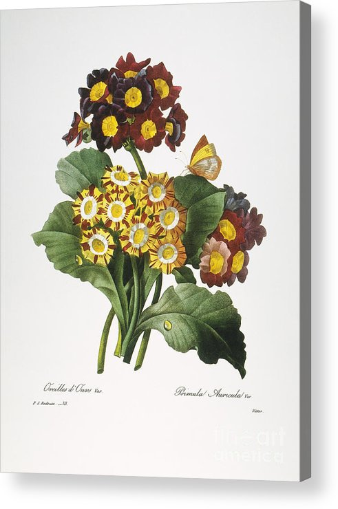 1833 Acrylic Print featuring the photograph Redoute: Auricula, 1833 by Granger