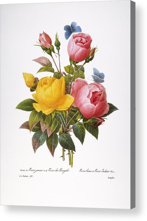 1833 Acrylic Print featuring the photograph Redoute: Roses, 1833 by Granger