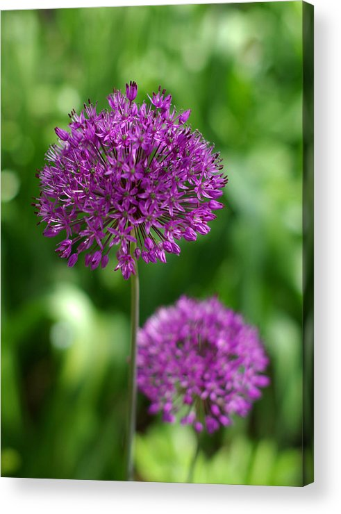 Allium Acrylic Print featuring the photograph Stand Tall by Linda Mishler