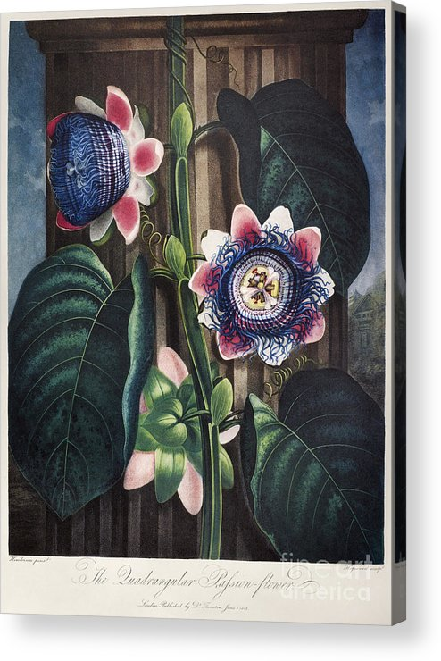 1802 Acrylic Print featuring the photograph Thornton: Passion-flower by Granger