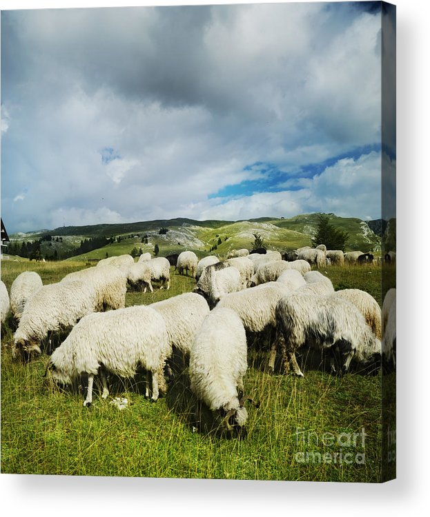 Sheep Acrylic Print featuring the pyrography Sheep In The Field by Jelena Jovanovic
