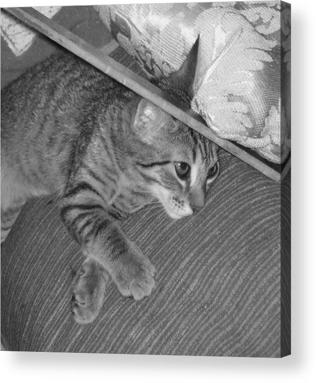 Kitten Acrylic Print featuring the photograph Model Kitten by Pharris Art