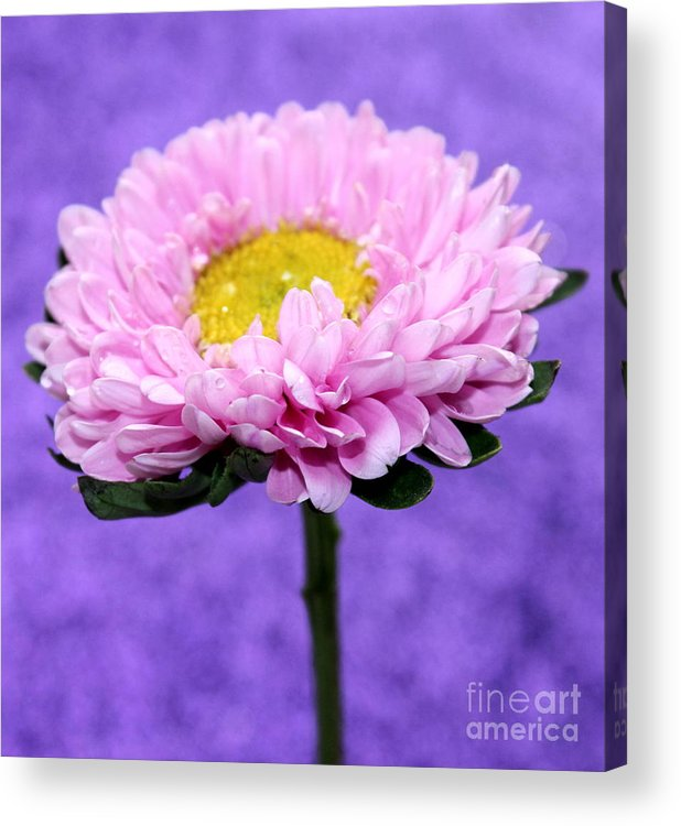 Pink Flower Acrylic Print featuring the photograph Peaceful Thoughts by Krissy Katsimbras