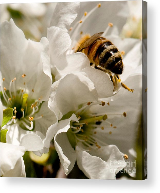 Bee Acrylic Print featuring the photograph Spring Time Cherry Blossoms by Artist and Photographer Laura Wrede