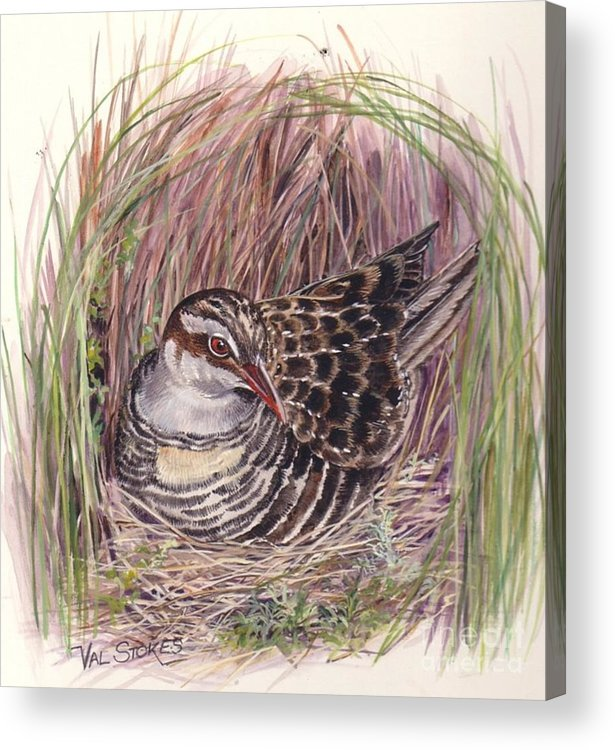 Bird Acrylic Print featuring the painting Banded Rail by Val Stokes
