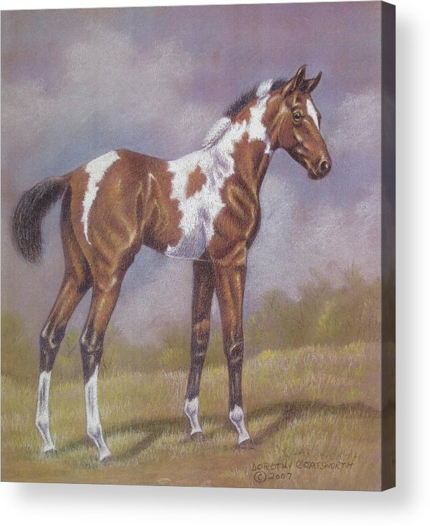 Foa; Paint Horse Acrylic Print featuring the pastel Bay Paint Foal by Dorothy Coatsworth
