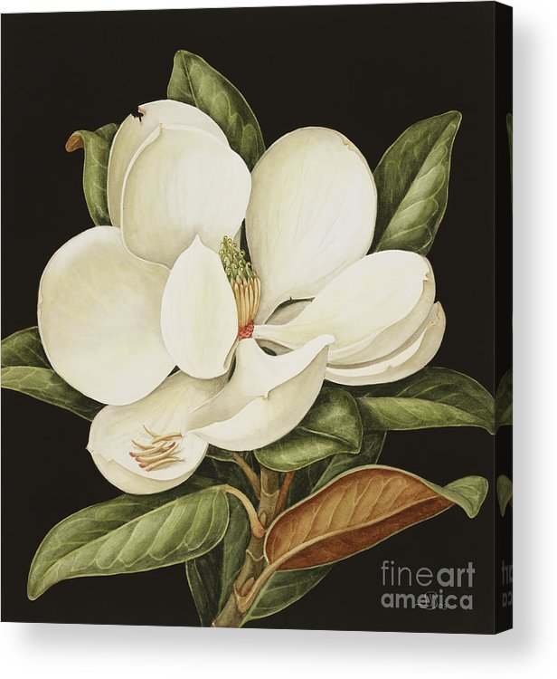 Still-life Acrylic Print featuring the painting Magnolia Grandiflora by Jenny Barron