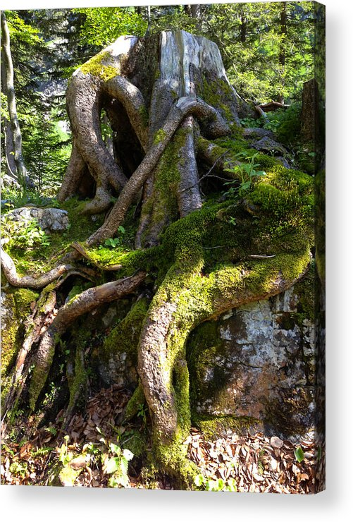 Knarly Acrylic Print featuring the photograph Knarly Old Tree Stump Switzerland by PIXELS XPOSED Ralph A Ledergerber Photography
