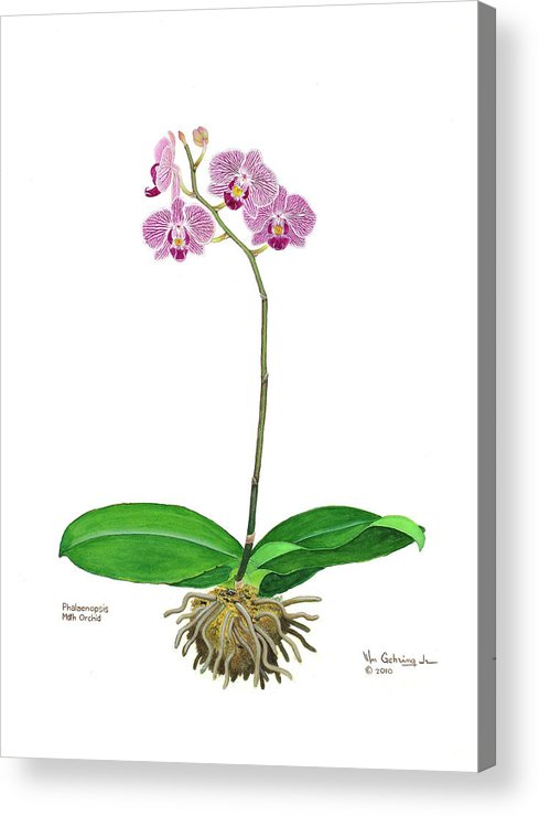 Orchids Acrylic Print featuring the painting Phalaenopsis Moth Orchid by Bill Gehring