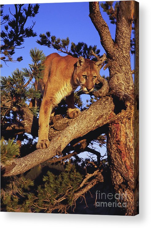 North American Wildlife Acrylic Print featuring the photograph Mountain Lion by Dennis Hammer