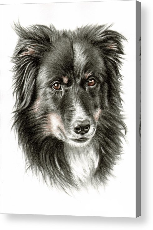 Dog Acrylic Print featuring the drawing Border Collie Portrait by Nicole Zeug