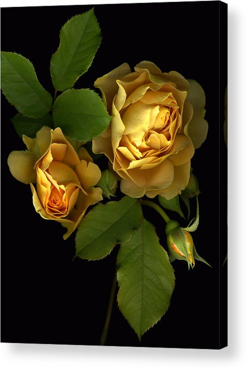 Roses Acrylic Print featuring the photograph Forever Yellow Roses by Deborah J Humphries