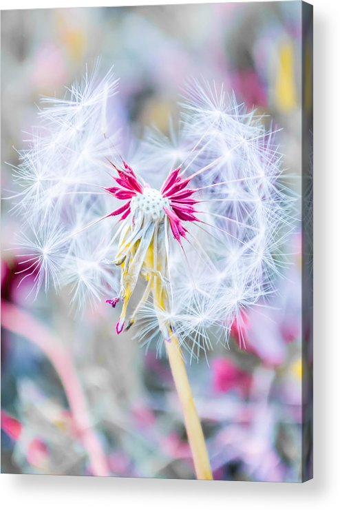 Pink Acrylic Print featuring the photograph Pink Dandelion by Parker Cunningham