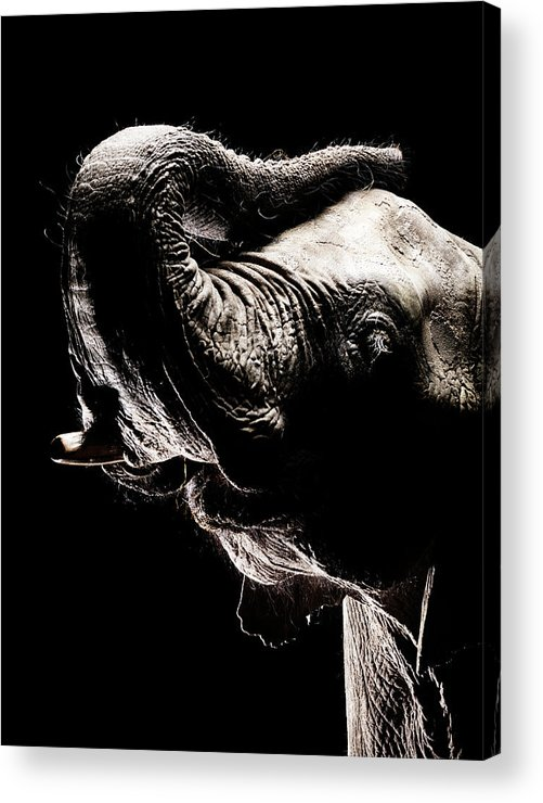 Animal Trunk Acrylic Print featuring the photograph African Elephant With The Trunk Raised by Henrik Sorensen