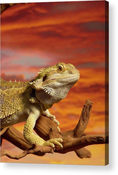 Pets Acrylic Print featuring the photograph Bearded Dragon Pogona Vitticeps On by Don Farrall