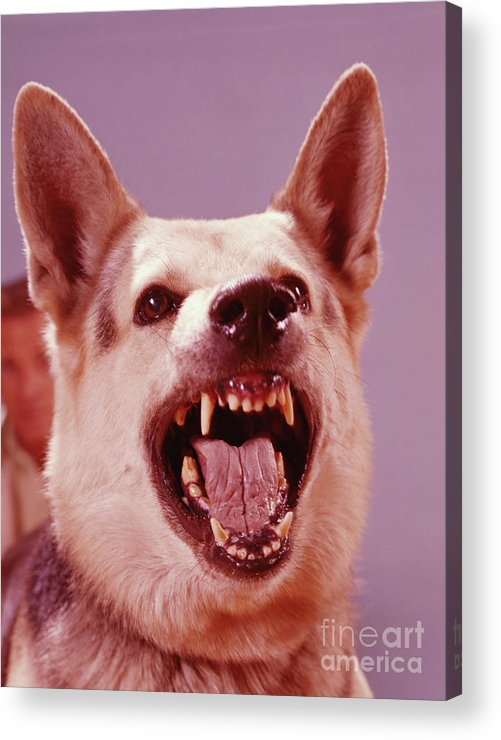 Snarling Acrylic Print featuring the photograph German Shepherd Dog Snarling by H. Armstrong Roberts