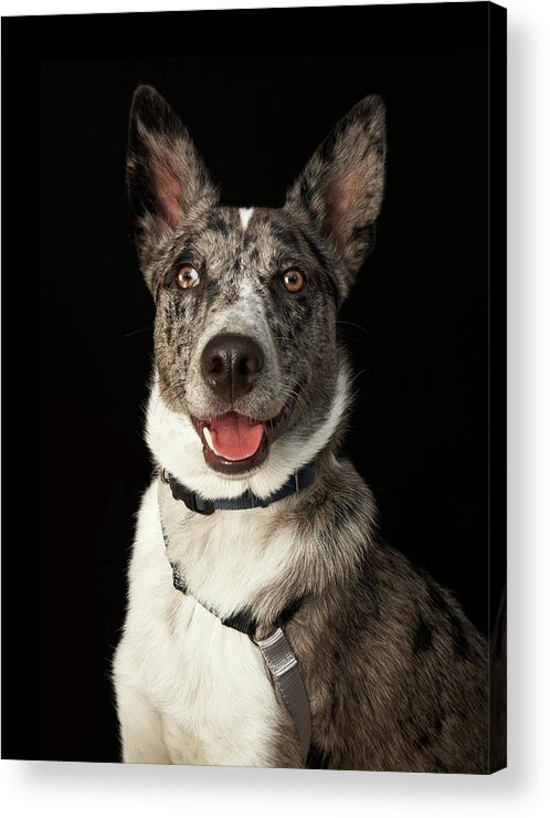 Pets Acrylic Print featuring the photograph Grey And White Australian Shepherd With by M Photo
