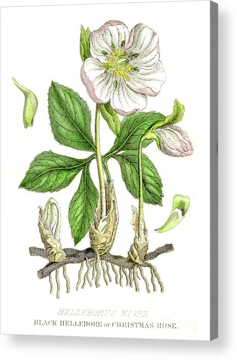 Engraving Acrylic Print featuring the digital art Hellebore Botanical Engraving 1857 by Thepalmer