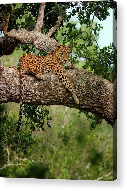 Animal Themes Acrylic Print featuring the photograph Leopard Sitting On A Branch by Thilanka Perera