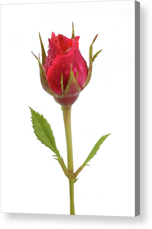 White Background Acrylic Print featuring the photograph Miniature Pink Rose Bud With Water by Rosemary Calvert