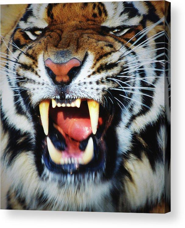 Snarling Acrylic Print featuring the photograph Bengal Tiger Panthera Tigris Tigris by Mike Hill