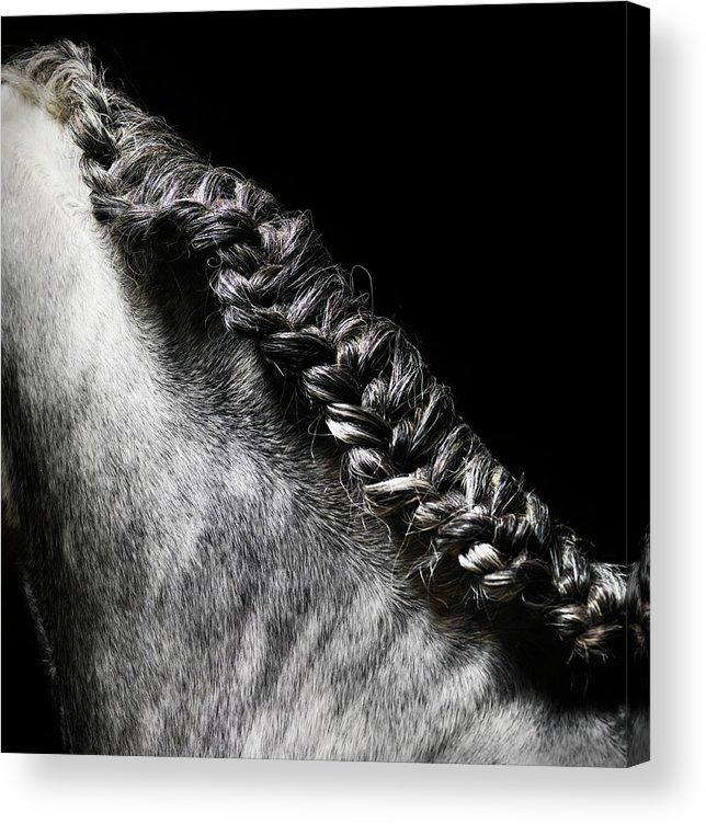 Horse Acrylic Print featuring the photograph Braided Mane Of Grey Horse by Henrik Sorensen