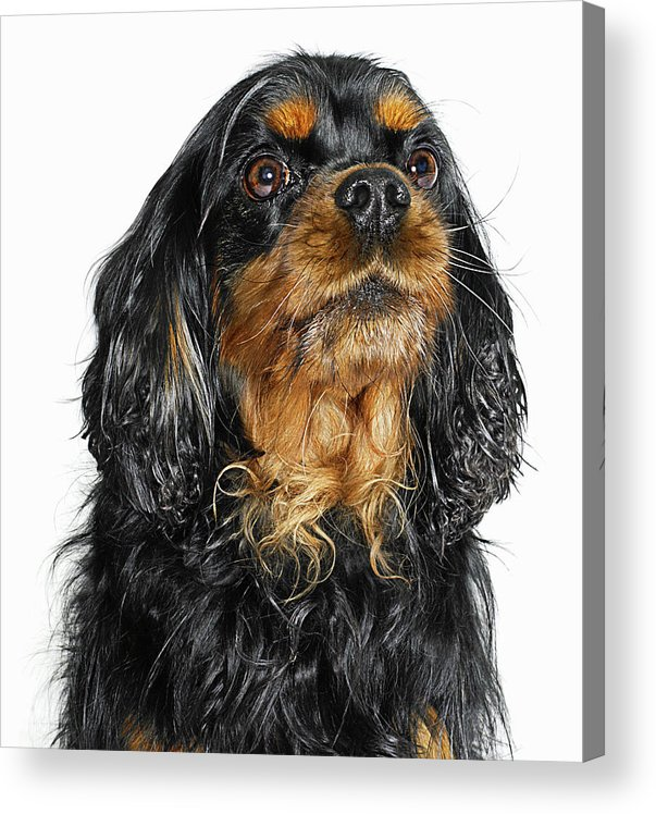 Pets Acrylic Print featuring the photograph King Charles Cavalier Portrait by Gandee Vasan
