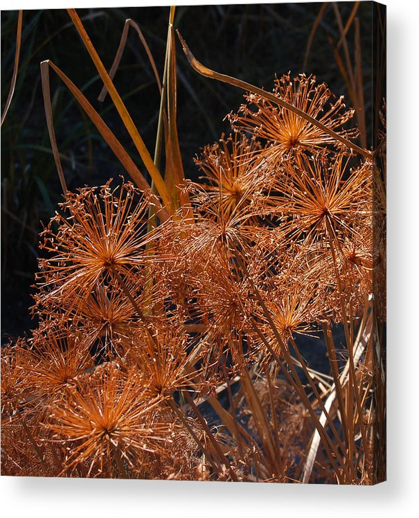 Allium Acrylic Print featuring the photograph Winter Beauty by Suzanne Gaff