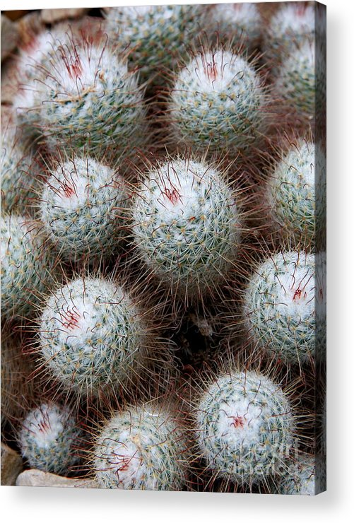 Cactus Acrylic Print featuring the photograph White Bearded 1 by Christiane Schulze Art And Photography