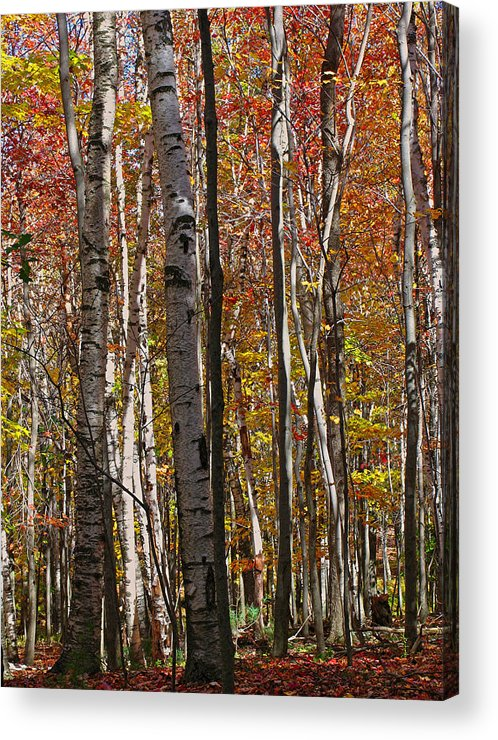 Foliage Acrylic Print featuring the photograph Birch Trees In Autumn by Juergen Roth
