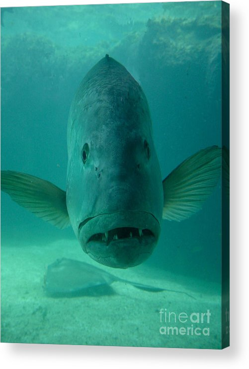 Aquarium Acrylic Print featuring the photograph Funny Fish Face by Amy Cicconi