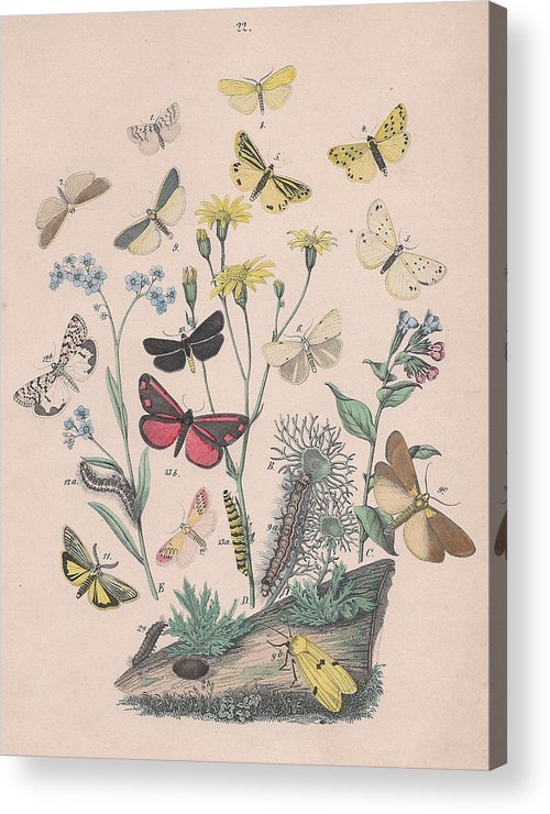 Butterfly Acrylic Print featuring the drawing Lithosidae - Arctiidae by W Kirby