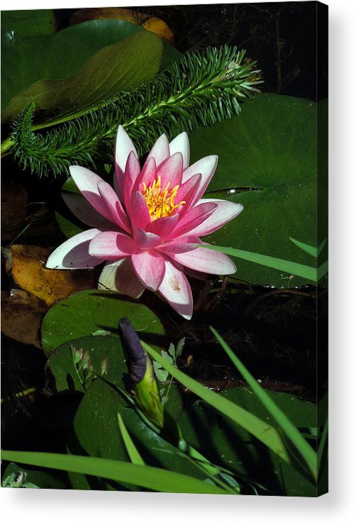 Water Lilly Acrylic Print featuring the photograph Water Lilly by Don Wright