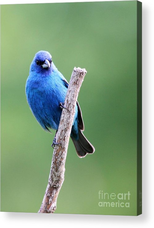 Nature Acrylic Print featuring the photograph Indigo Bunting by Jack R Brock