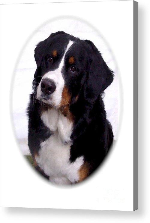 Bernese Mountain Dog Digital Art Acrylic Print featuring the digital art Bernese Mountain Dog 443 by Larry Matthews