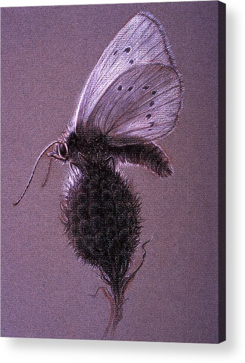 Butterfly Acrylic Print featuring the drawing Nausithous Sketch by Shawn Kawa