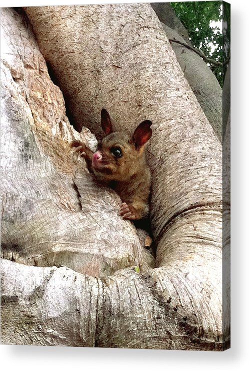 Brushtail Acrylic Print featuring the photograph Baby Brushtail Possum by Darren Stein