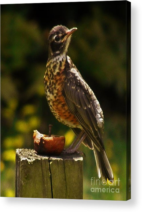 Infant American Robin Acrylic Print featuring the photograph Infant American Robin by Earl Williams Jr