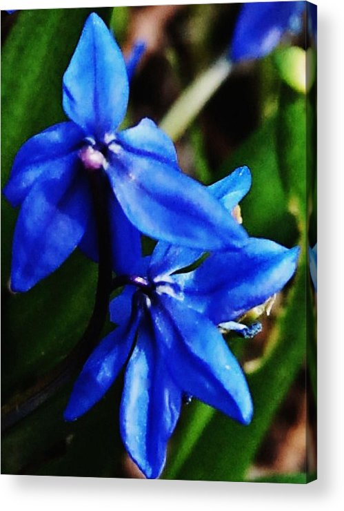Digital Photo Acrylic Print featuring the photograph Blue Floral by David Lane