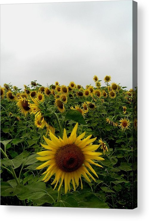 Sunflower Acrylic Print featuring the photograph Bowing To The Crowd by Jeanette Oberholtzer