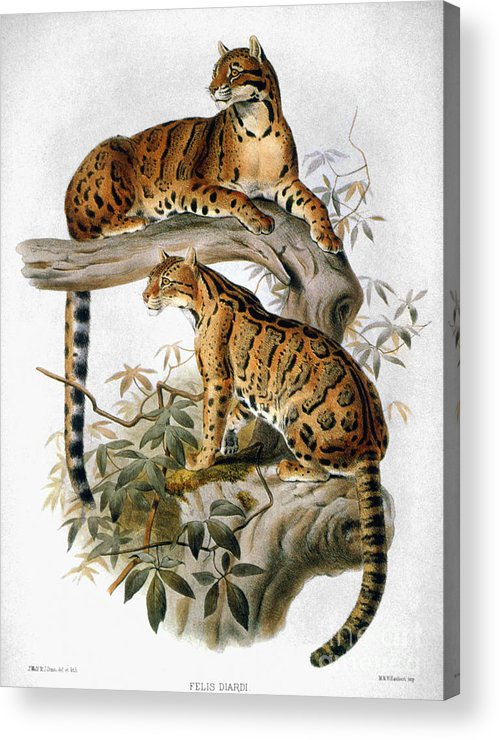 1883 Acrylic Print featuring the photograph Clouded Leopard, 1883 by Granger