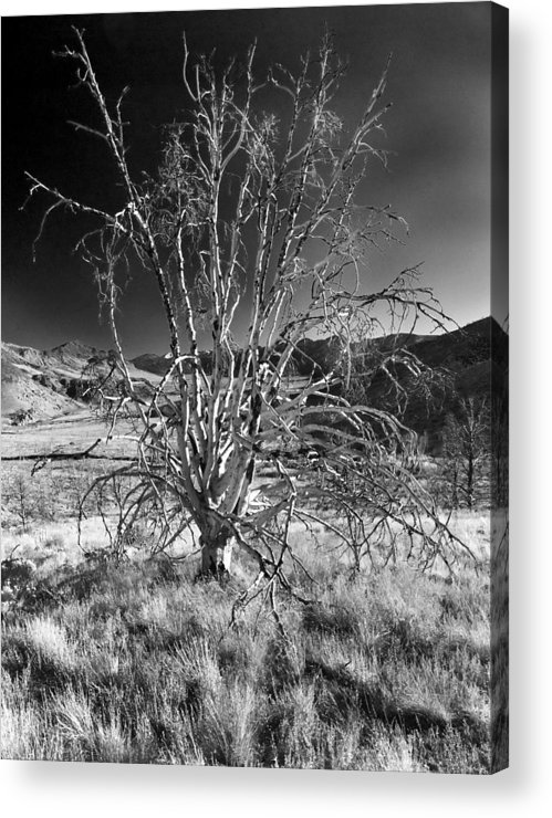 California Acrylic Print featuring the photograph Dying Tree by Norman Andrus