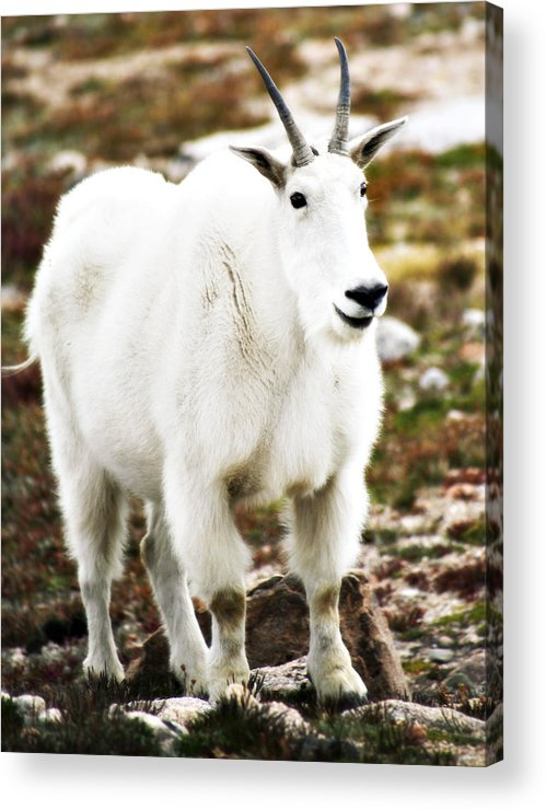 Animal Acrylic Print featuring the photograph Mountain Goat by Marilyn Hunt