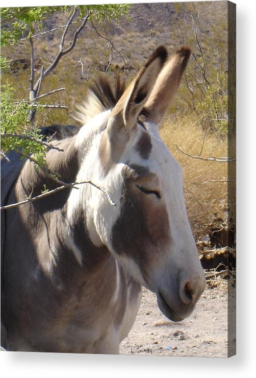 Photography Acrylic Print featuring the photograph Oatman Burro by Lessandra Grimley