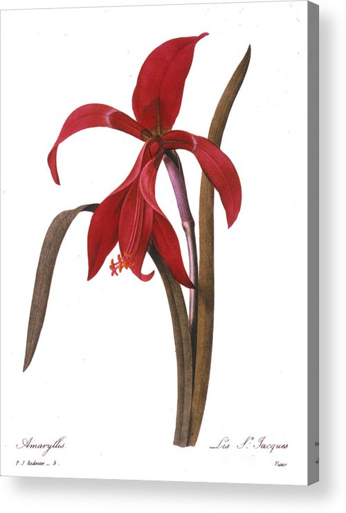 1833 Acrylic Print featuring the photograph Redout�: St. James Lily by Granger