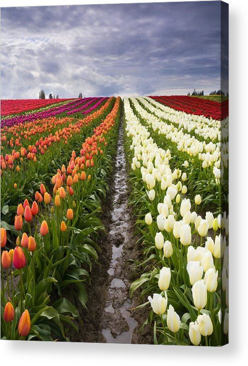 Tulips Acrylic Print featuring the photograph Sea Of Color by Mike Dawson