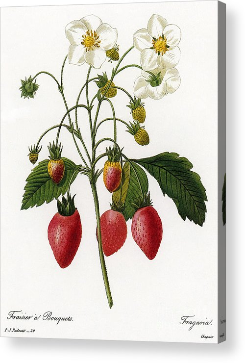 1833 Acrylic Print featuring the photograph Strawberry by Granger