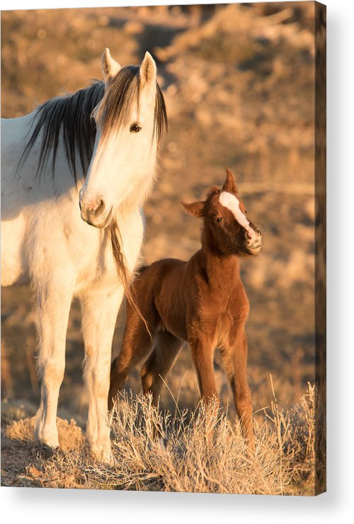 Horse Acrylic Print featuring the photograph Two Days Old by Kent Keller