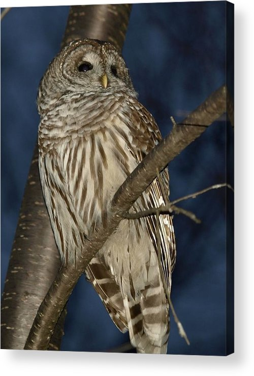 Owl Acrylic Print featuring the photograph Who by Peter Gray