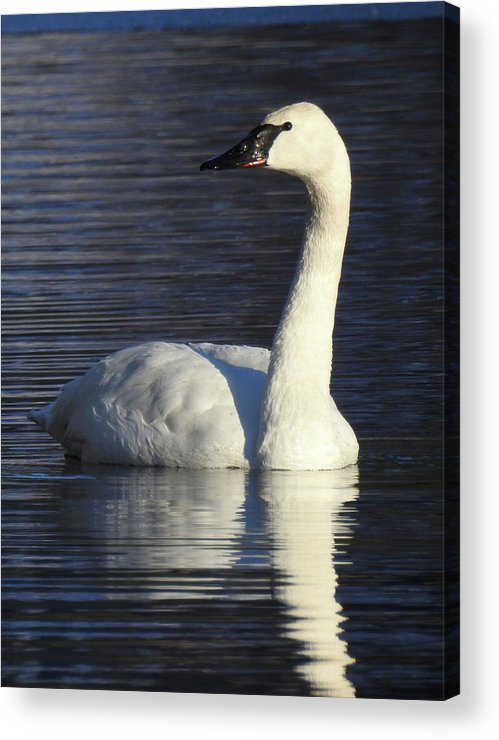 Swan Reflection White Wildlife Acrylic Print featuring the photograph Winter Swan by Christopher Brown